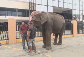 Elefante suelto en Managua